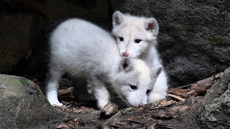 erstmals nachwuchs bei den polarfuechsen im zoo rostock
