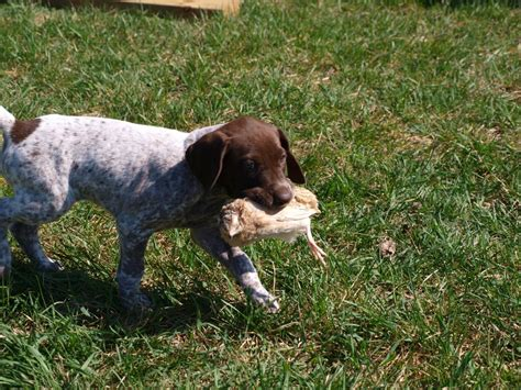 german shorthaired pointer excessive shedding german shorthaired pointer puppy picture 5144a656 c1cc