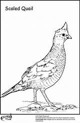 Quail Coloring Pages Bird Preschool Title Scaled Kindergarten Ministerofbeans Read sketch template
