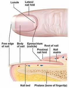 Images Of Fingernail Labeled Diagram