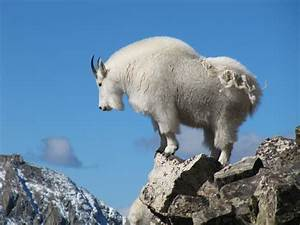 Mountain goat on Quandary Peak, Colorado - National ...