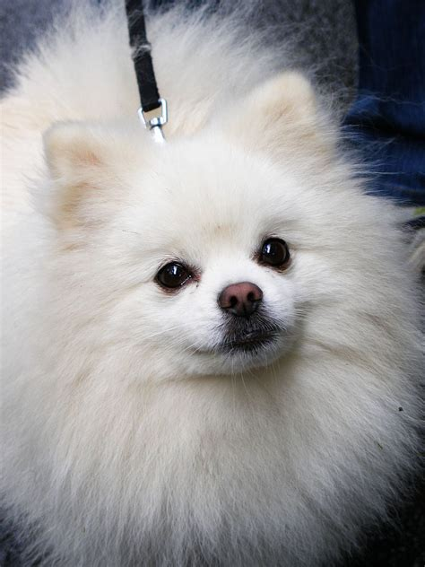 Filepipin Pomeranian Jpg