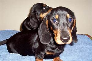 miniature smooth haired dachshund puppies | Lampeter ...
