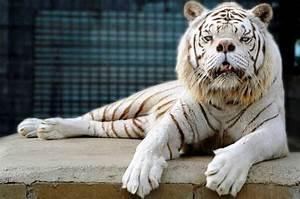 White Ligers And Tigons | www.pixshark.com - Images ...