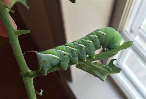 pests   garden tomato hornworms ifarm llc