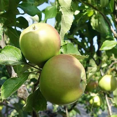 Apple Tree Bramley Pot 12l Trees 150cm