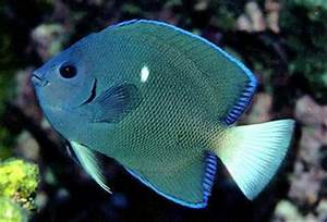 Holacanthus limbaughi - Clipperton Angelfish -- Discover Life