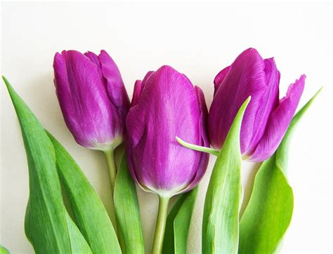 Yellow Tulips Meaning