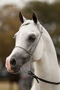 "Egyptian Arabian horse....just look at this ""Teacup"" nose ..."