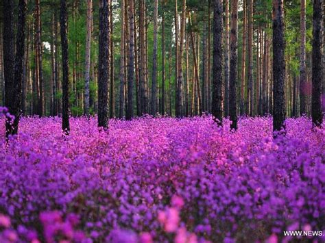 Scenery Of Rhododendrons Blossom In China's Heilongjiang