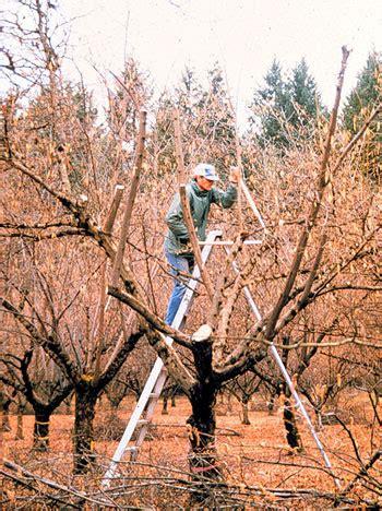 pruning hazelnut trees eastern filbert blight help page