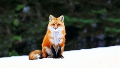 Fox Wallpapers Foxes Desktop