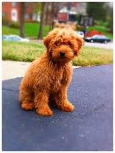 Mini Teddy Bear Goldendoodle Puppies