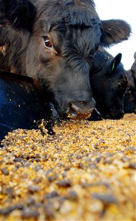 feedlot animals receiving  double dose  antibiotics