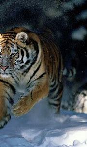 Siberian tiger wallpaper « Nat Geo Adventure