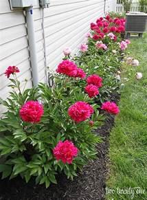 Peonies Flowers Growing