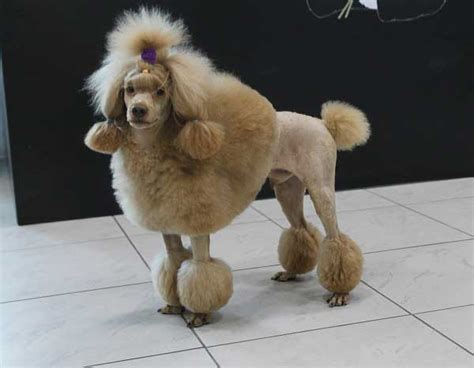 Standard Miniature And Toy Poodle
