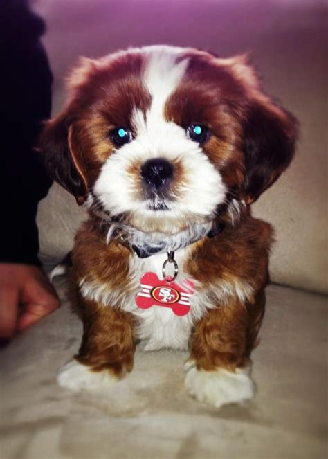 small non shedding dogs 23 best small non shedding dogs images on non