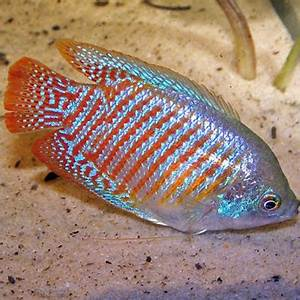 Neon Blue Dwarf Gourami MALE Aquatics To Your Door