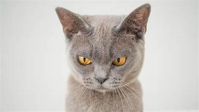 Cat British Shorthair Mobile Wallpapers 4k