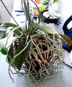 Orchideen Umtopfen Video : orchideen archives gedankenfreier fall ~ Watch28wear.com Haus und Dekorationen