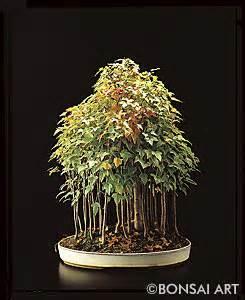 Ahorn Vermehren Steckling : bonsai art fachzeitschrift bonsaib cher acer ahorn ~ Lizthompson.info Haus und Dekorationen