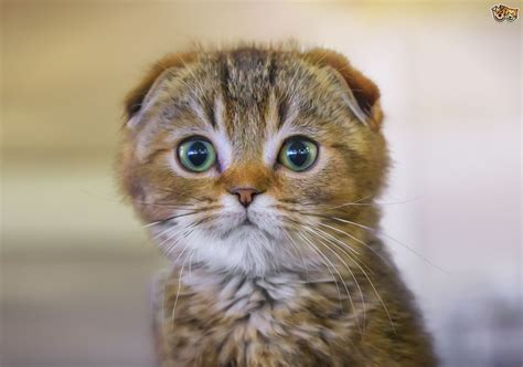 cat breeders scottish fold cat breed facts highlights buying