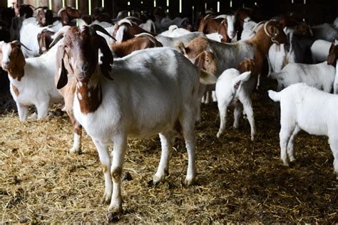 Okay, so we have considered all the we also took it further by analyzing and drafting a sample goat farming marketing plan template backed up by actionable guerrilla marketing. Starting Goat Farming Business Plan (PDF) - StartupBiz Global