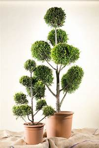 Johannisbeeren Hochstamm Kaufen : gelbe baumzypresse bonsai pompon cupressocyparis ~ Lizthompson.info Haus und Dekorationen