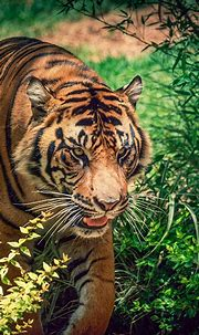 Download 1080x1920 Tiger, Walking, Big Cats, Predator ...