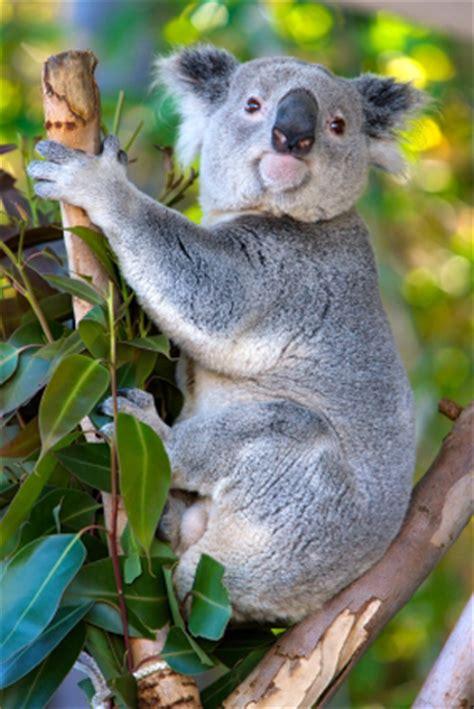 koala eniscuola