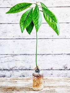 Avocado Baum Pflege : avocadokern einpflanzen so einfach geht 39 s garten pinterest avocado kerne pflanzen und ~ Orissabook.com Haus und Dekorationen