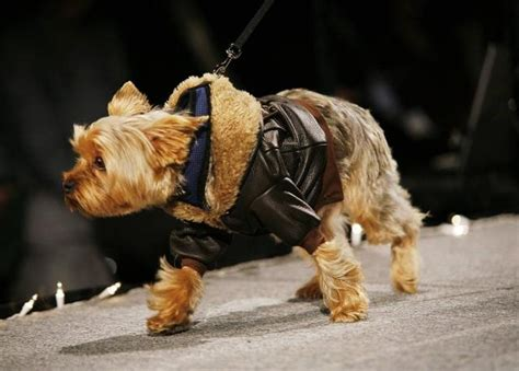 cute small yorkie terrier leather bomber jacket  small