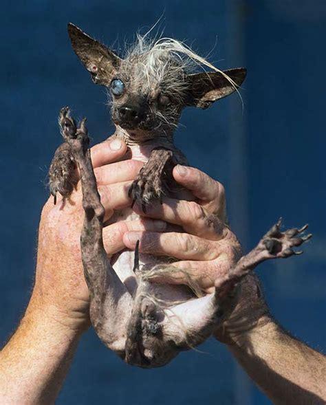 the ugliest dog contest winner