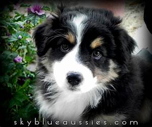 Beautiful Black Tri Australian Shepherd puppy! JETT! See ...