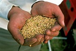Genetically modified crops on the rise - UPI.com