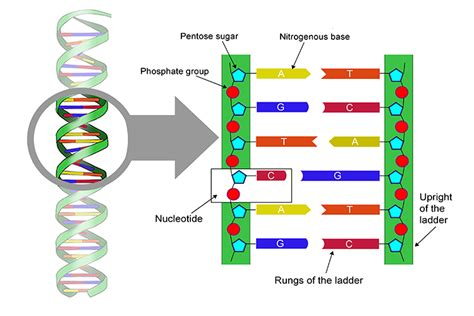 Nucleotides Are The Structure Of Dna Like Rungs On A Ladder