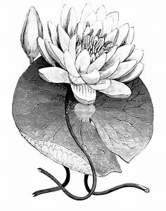 31 best BOTANICAL DRAWINGS , PAINTINGS & PICTURES images ...