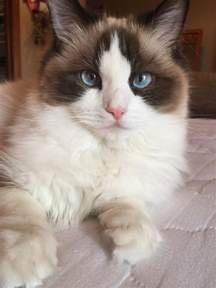where do cats come from what colors do ragdoll cats come in