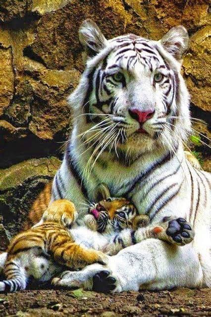 Beautiful Tigress With Very Content Happy Cub
