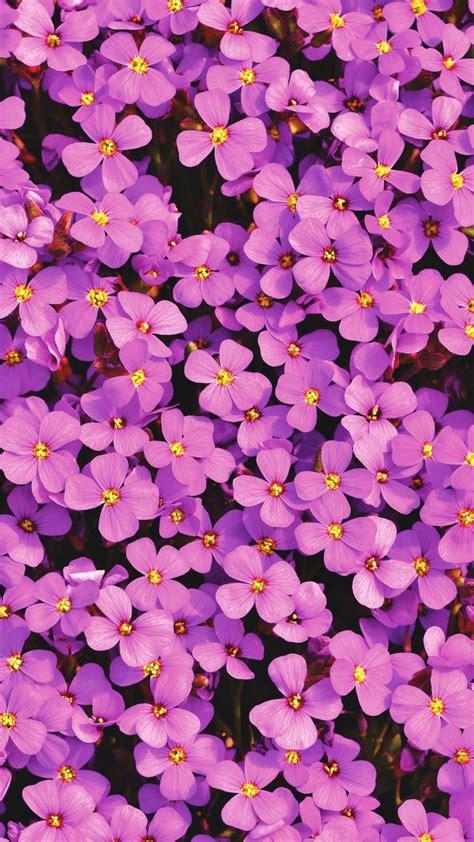 Download Purple Aubrieta Flowers Free Pure 4k Ultra Hd