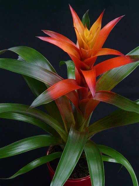 Zimmerpflanze Orange Blüte by Kostenlose Foto Bl 252 Hen Blume Orange Rot Botanik