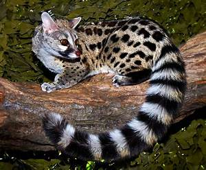 Genetta Genetta | Animal Interesting Facts & New Pictures ...
