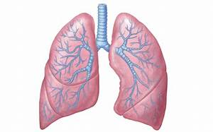Anatomy And Physiology- Lungs