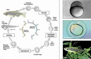 Zebrafish Embryo Diagram