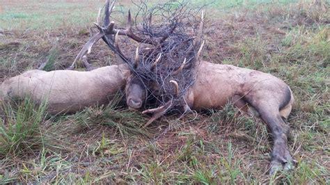 bull elk battle  death east  coeur dalene