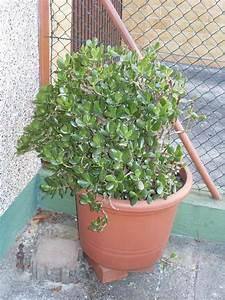 Chinesischer Geldbaum Kaufen : fette henne geldbaum pfennigbaum in bad soden pflanzen ~ Michelbontemps.com Haus und Dekorationen