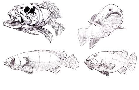 grouper giant drawing studies levy karl