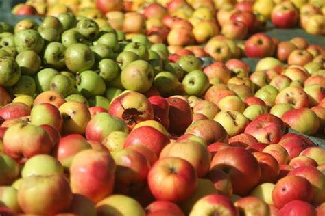 chambre d agriculture de rennes rennes récolte des pommes à cidre 2015 s annonce bien