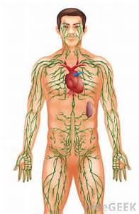 the lymphatic system is a part of the immune system  Immune System Lymph Nodes